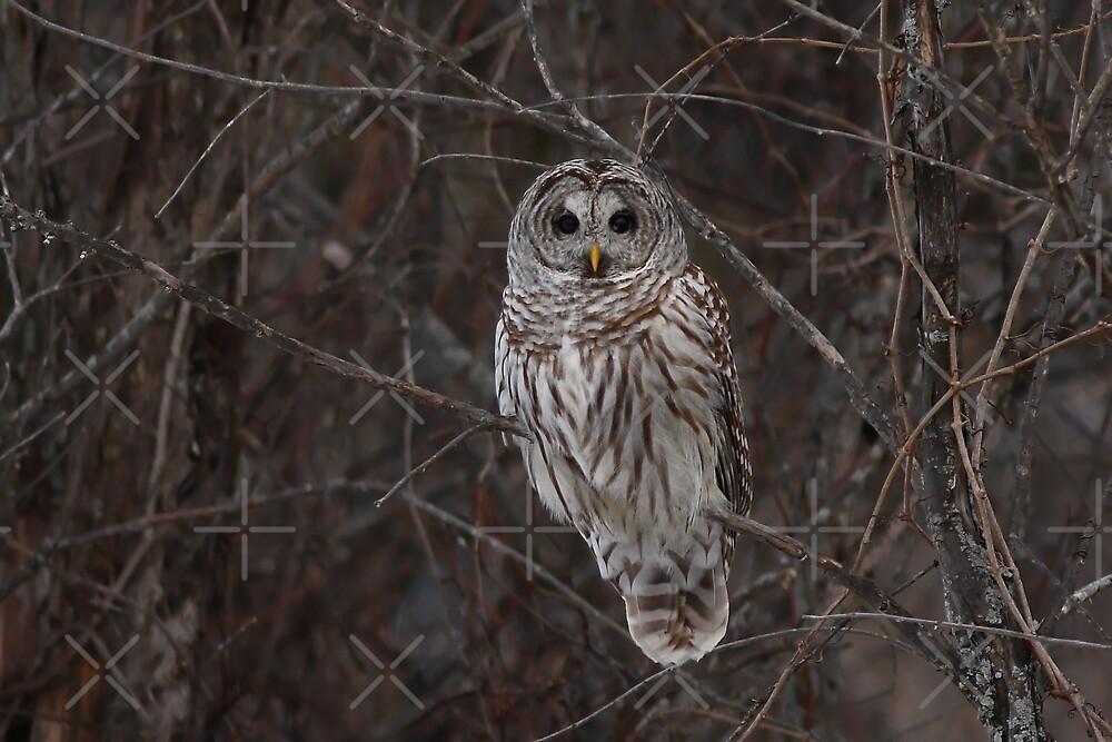 Barred Owl - Kanata, Ont by Jim Cumming