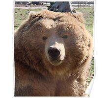 Kodiak Brown Bear Poster