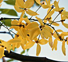 Yellow blossoms. by khadhy
