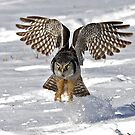 Snow Blast - Northern Hawk owl by Jim Cumming