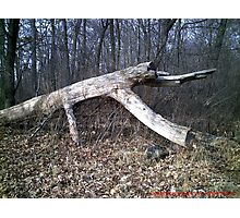 """Crawling"" Timber Photographic Print"