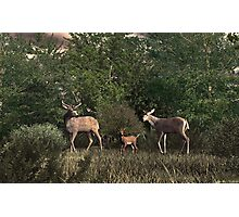 Family of Deer Photographic Print