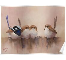 Superb Fairy Wrens Poster