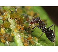 Ant-Aphid Symbiosis Photographic Print
