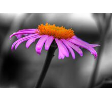 Lovely Purple and Orange Coneflower Echinacea Photographic Print