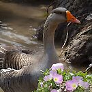White-fronted Goose & Buttercups ~2 by Penny Odom