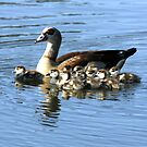 EGYPTIAN GOOSE AND TEN CHICKS by TomBaumker