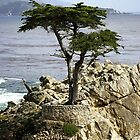 Lone Cypress by Anne-Marie Bokslag
