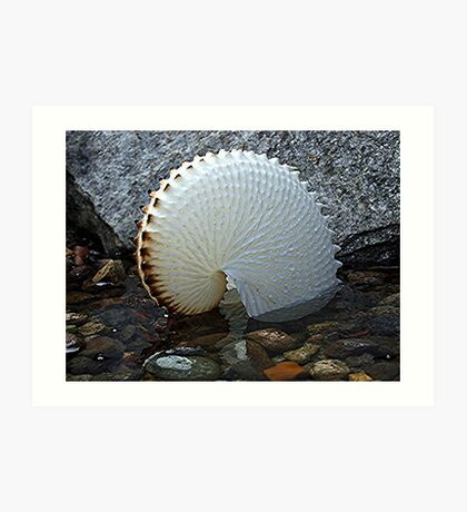 Paper Nautilus - nature at it's most delicate! Art Print