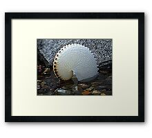 Paper Nautilus - nature at it's most delicate! Framed Print