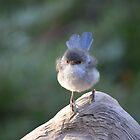 Blue Wren female, logging on! by Adrian Kent