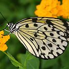 Paper Kite Butterfly with Folded Wings on Yellow Lantana by Laurel Talabere