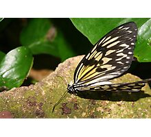 Paper Kite Butterfly with Open Wings Photographic Print