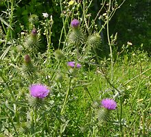 Scottish Thistle by cetstreasures