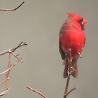Northern Red Cardinal Perched on a Branch by Laurel Talabere