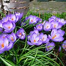Spring Crocuses by Mike Paget