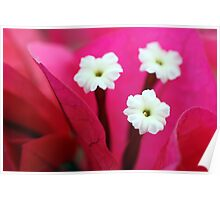 Pink and White Macro Poster