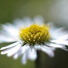 Daisy by LisaRoberts