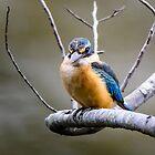 Juvenile Sacred Kingfisher by Chris  Randall