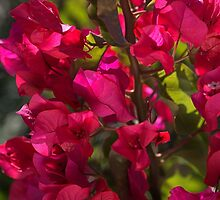 Shine On Bougainvillea by Joy Watson