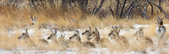 Pan of Pronghorn Bedded Down in Snow by A.M. Ruttle