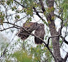 Kissing Owls by Bonnie T.  Barry