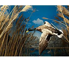 Natural environment diorama - a mallard  flying in the sky Photographic Print