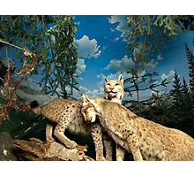 Natural environment diorama - two leopards  Photographic Print