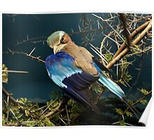 Natural environment diorama - bird with blue wings  Poster
