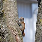 American  Red Squirrel by Lynda  McDonald