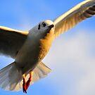 Sea Gull by Dominic Kamp
