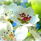 Pear Blossoms by ©The Creative  Minds