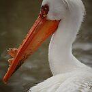 Pelican by Sharon Morris