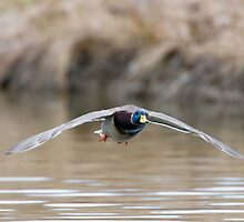 Mallard Duck:  A Male Landing by David Friederich