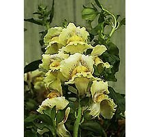 Water Colored Snapdragons Photographic Print