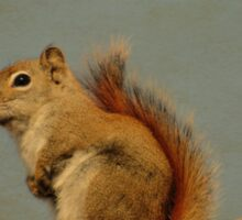 American red squirrel Sticker