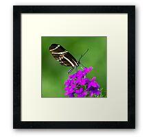 Zebra Longwing on Purple Framed Print