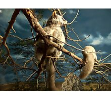 Natural environment diorama - Fox squirrel resting on a branch  Photographic Print