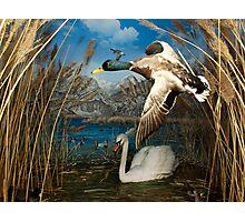 Natural environment diorama - a mallard and a swan in a pond  Photographic Print