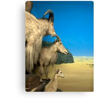Natural environment diorama - Steinbocks in the desert  Canvas Print