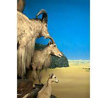 Natural environment diorama - Steinbocks in the desert  Photographic Print
