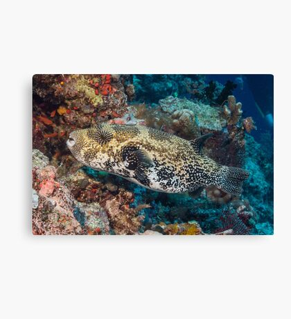 Blue-spotted Pufferfish Canvas Print