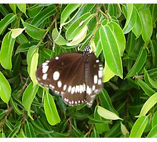 Brown Butterfly Landing Photographic Print