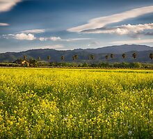 Blooming Yellow Mustard in Napa Valley by George Oze
