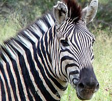 Stripey by Steve Falla