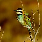 White-throated Bee-Eater by Nancy Barrett