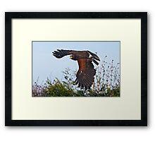 Hawk-in-a-Hurry Framed Print