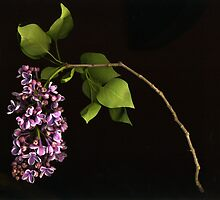 White-Edged Lilac by Barbara Wyeth