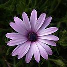 Shades of Lilac by DeborahDinah