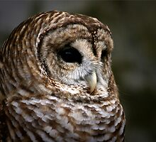 BARRED OWL by Lori Deiter